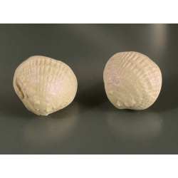 Polymer shell post earrings